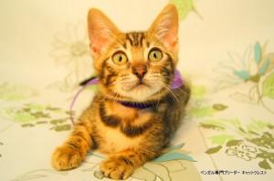 ベンガル子猫46番フルートちゃん041501