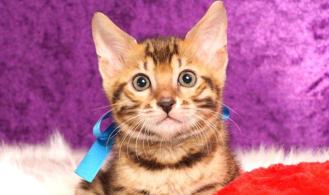 ベンガルの子猫2018/6/5生 532番ブルー♂-1