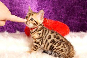 ベンガルの子猫2018/6/5生 531番レッド♀-5