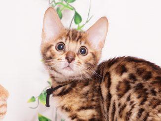 ベンガルの子猫 2019/10/28生 807番ブラック オス3