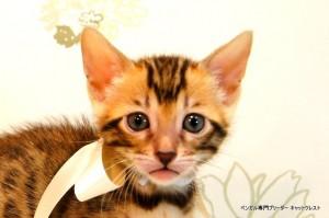 ベンガル子猫55番しろちゃん6