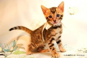 ベンガル子猫55番しろちゃん2