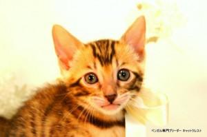 ベンガル子猫55番しろちゃん1