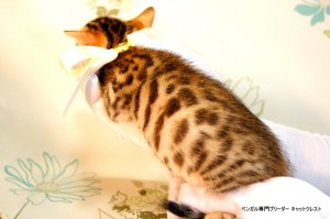 ベンガル子猫55番しろちゃん3