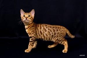 ベンガルの子猫161番ミドリ君