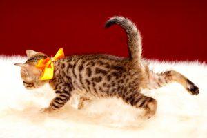 ベンガルの子猫2017年9月14日生まれ 406番オレンジちゃん