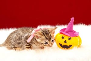 ベンガルの子猫2017年9月14日生まれ 405番ピンクちゃん