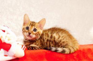 ベンガルの子猫2016年11月3日生まれ 275番みずいろ君