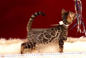 ベンガルの子猫2018/6/13生 538番ホワイト メス-6
