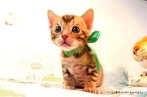 ベンガル子猫53番みどりくん5