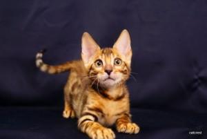 ベンガルの子猫171番ネイビー君