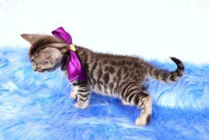 ベンガルの子猫2017年9月14日生まれ 404番むらさきちゃん