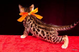ベンガルの子猫2016年5月4日生まれ 230番オレンジ君