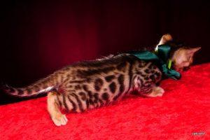 ベンガルの子猫2016年5月4日生まれ 232番グリーン君