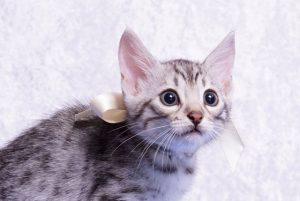ベンガルの子猫2018/7/26生 551番ホワイト オス-2