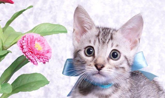 ベンガルの子猫-2018/7/26生 550番アクア オス-1