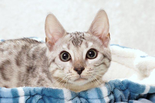 ベンガルの子猫 2016年9月25日生まれ 282番シルバー君