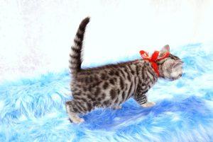 ベンガルの子猫 2017年9月14日生まれ 408番レッドちゃん メス