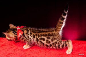 ベンガルの子猫2016年5月4日生まれ 231番レッド君