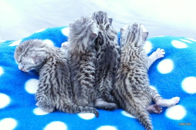 2016年5月30日生まれのシルバーベンガルの子猫達