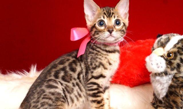 ベンガルの子猫2018/7/27生 552番ピンク メス1