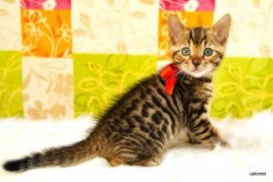 ベンガルの子猫140番レッドちゃん