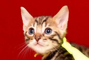 ベンガルの子猫2017年9月14日生まれ 403番きいろ君