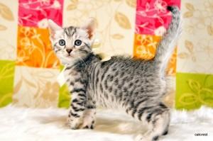 ベンガルの子猫139番ホワイトちゃん