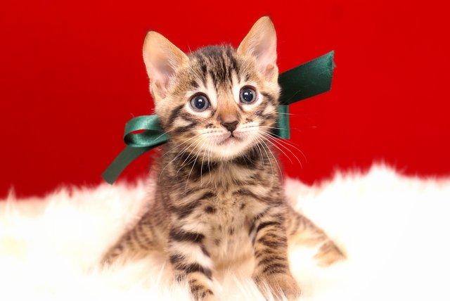 ベンガルの子猫2017年9月14日生まれ 402番みどり君
