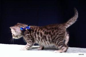 ベンガルの子猫2016年5月30日生まれ 233番ブルー君