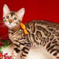 ベンガルの子猫2018/7/13生 558番オレンジ♀5