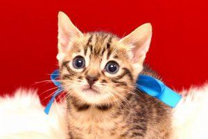 ベンガルの子猫2017年9月14日生まれ 401番あお君