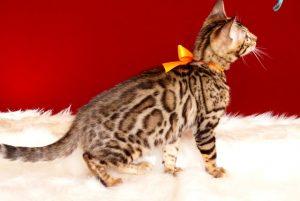 ベンガルの子猫2018/7/13生 558番オレンジ♀6