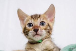 ベンガルの子猫179番グリーン君