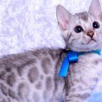 ベンガルの子猫2018/9/5生まれ561番あお君オス1