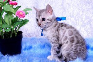 ベンガルの子猫2018/9/5生まれ561番あお君オス6