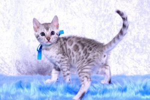 ベンガルの子猫2018/9/5生まれ561番あお君オス7