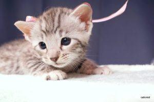 ベンガルの子猫2016年5月30日生まれ 236番ピンクちゃん