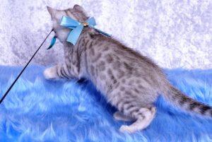 ベンガルの子猫2018/9/5生まれ560番みずいろ君オス3