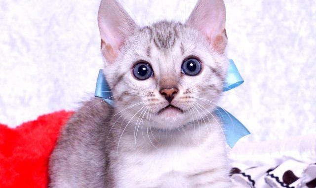 ベンガルの子猫2018/9/5生まれ560番みずいろ君オス6