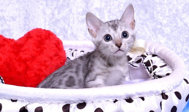 ベンガルの子猫2018/9/5生まれ559番しろちゃんメス1