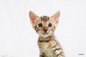 ベンガルの子猫180番アクア君