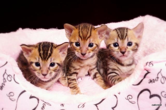 ベンガルの子猫販売中