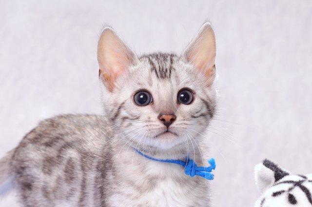 ベンガルの子猫2016年11月25日生まれ 307番ブルー君