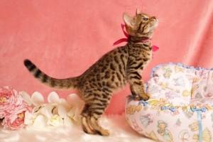 ベンガルの子猫2015年7月5日生まれ185番ピンクちゃん