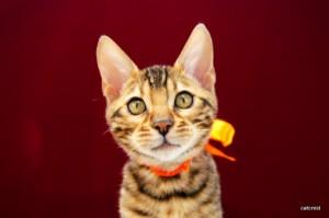 ベンガルの子猫145番オレンジ君