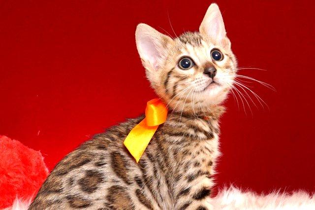 ベンガル子猫 2018/9/15生まれ 564番オレンジ メス1