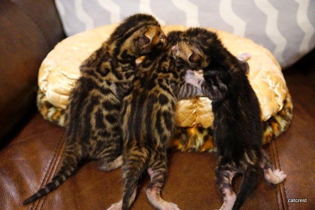 ベンガルの子猫2015年9月29日生まれ