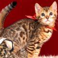 ベンガルの子猫販売中のベンガル子猫 2018/9/15生まれ 563番レッド5