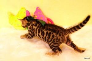 ベンガル子猫 186番グリーン君